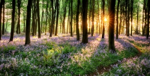 Path through bluebell woods in early morning sunrise